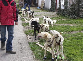 Schlittenhunde-Fahrt Markt Bibart