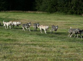 Schlittenhundefahrt in Mödingen