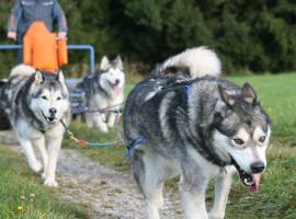 Schlittenhunde Schnupperkurs in Ödwang, Raum München in Bayern