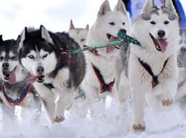 Schlittenhunde- Kurse